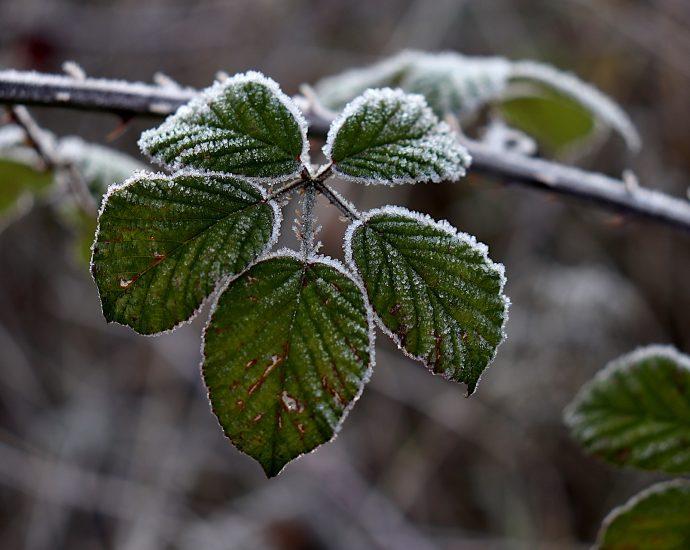 Frozen bramble leaf